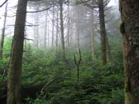 Spruce Fir Forest on Roan Mountain