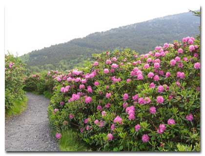 Catawba Rhododendron on Roan Mountain bald