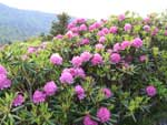 Catawba Rhododendron on the Roan